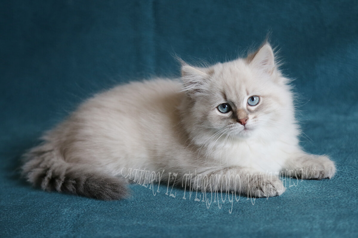 Available Siberian Neva masquerade kitten - very cute blue-eyed Siberian girl with incredibly sweet temperament