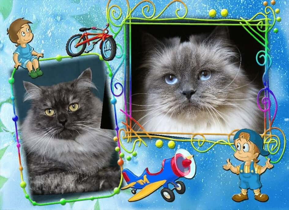 hypoallergenic siberian kittens