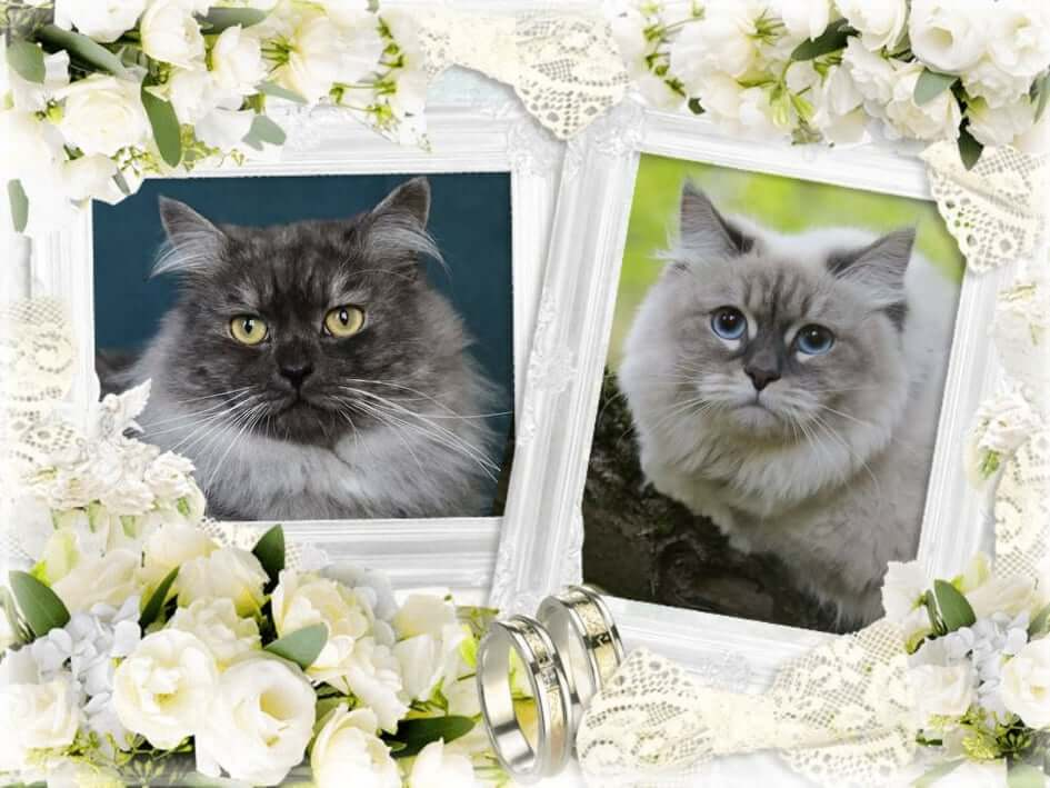 Available Siberian traditional and Neva masquerade kittens for breeding and as a pet