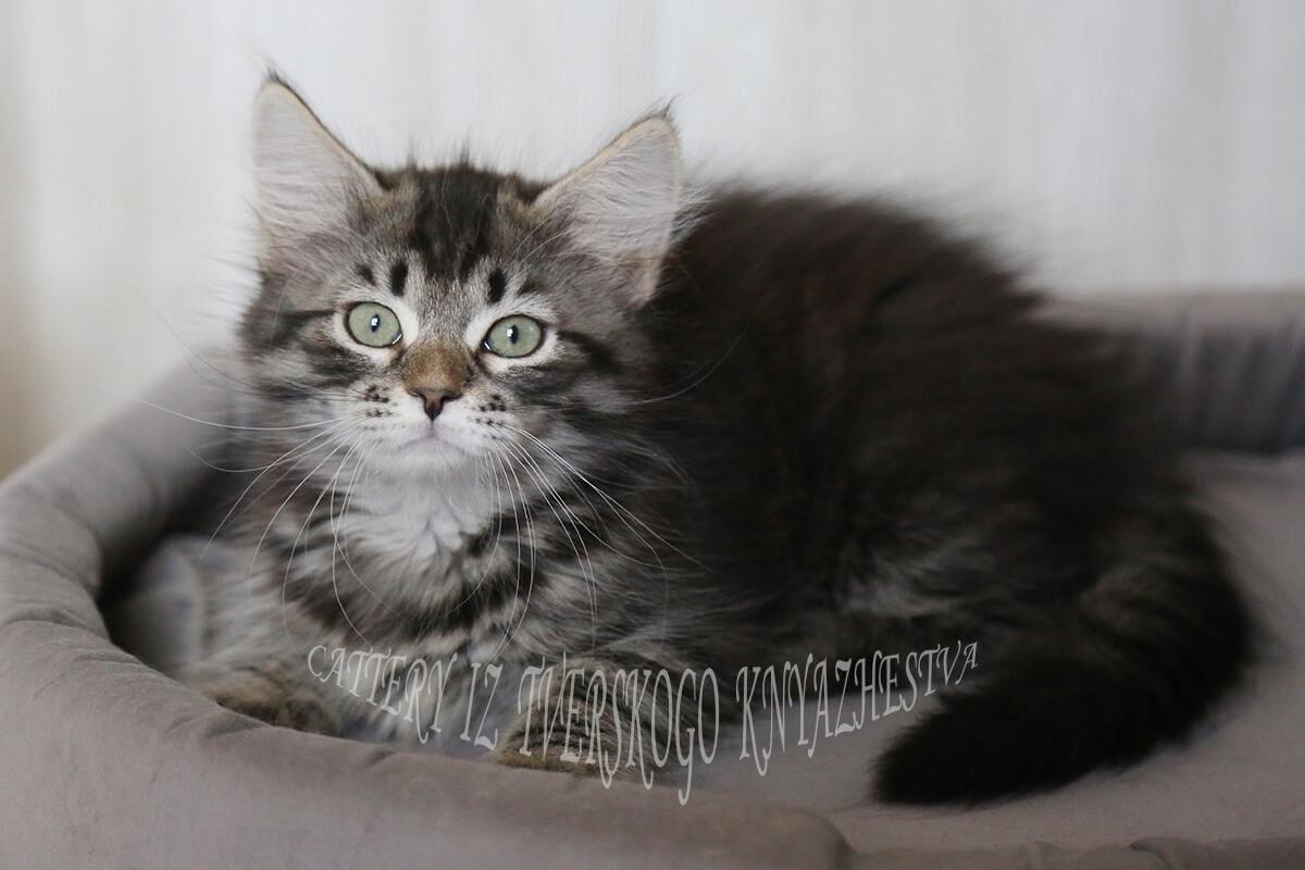 Siberian Brown tabby kitten for sale