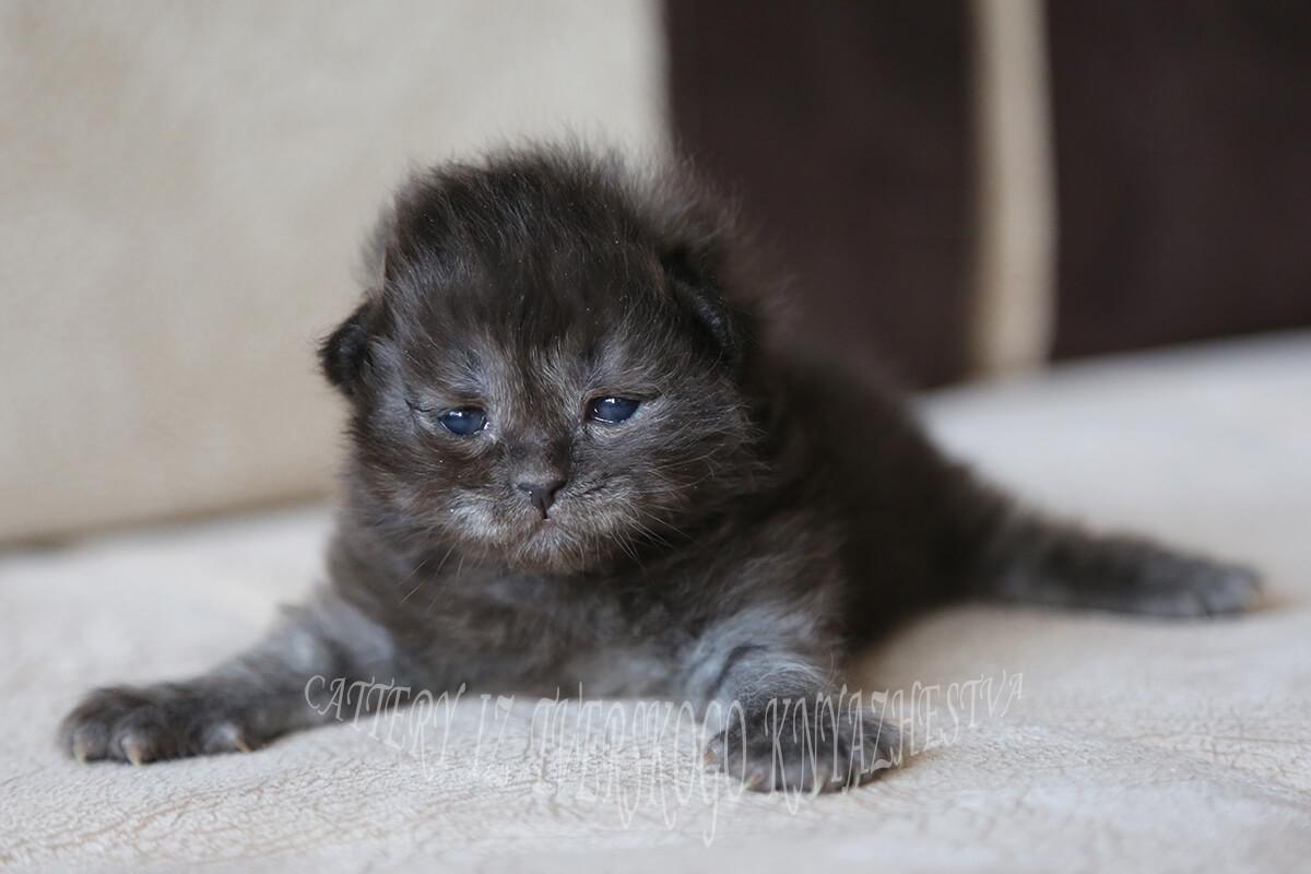 Siberian kitten for sale - amazing young Princess of rare black smoke color