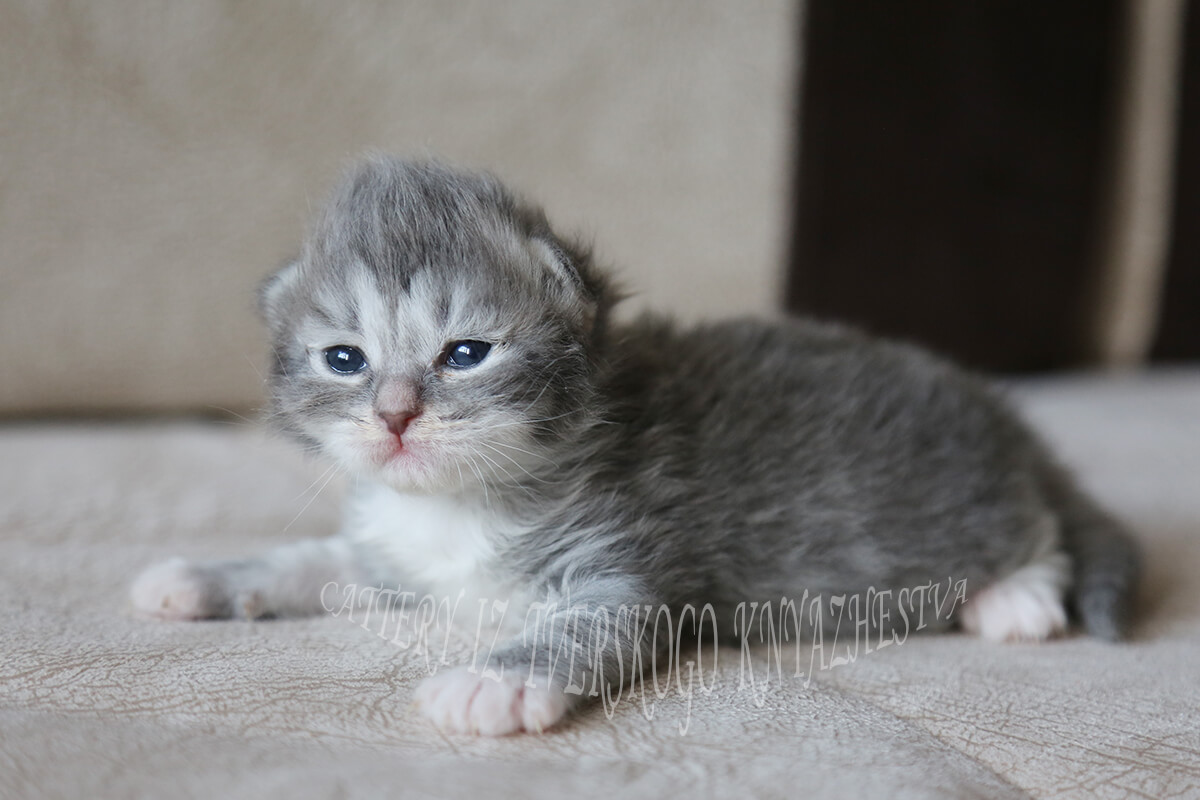 Cute Siberian kitten for sale - blue tabby with white young lady