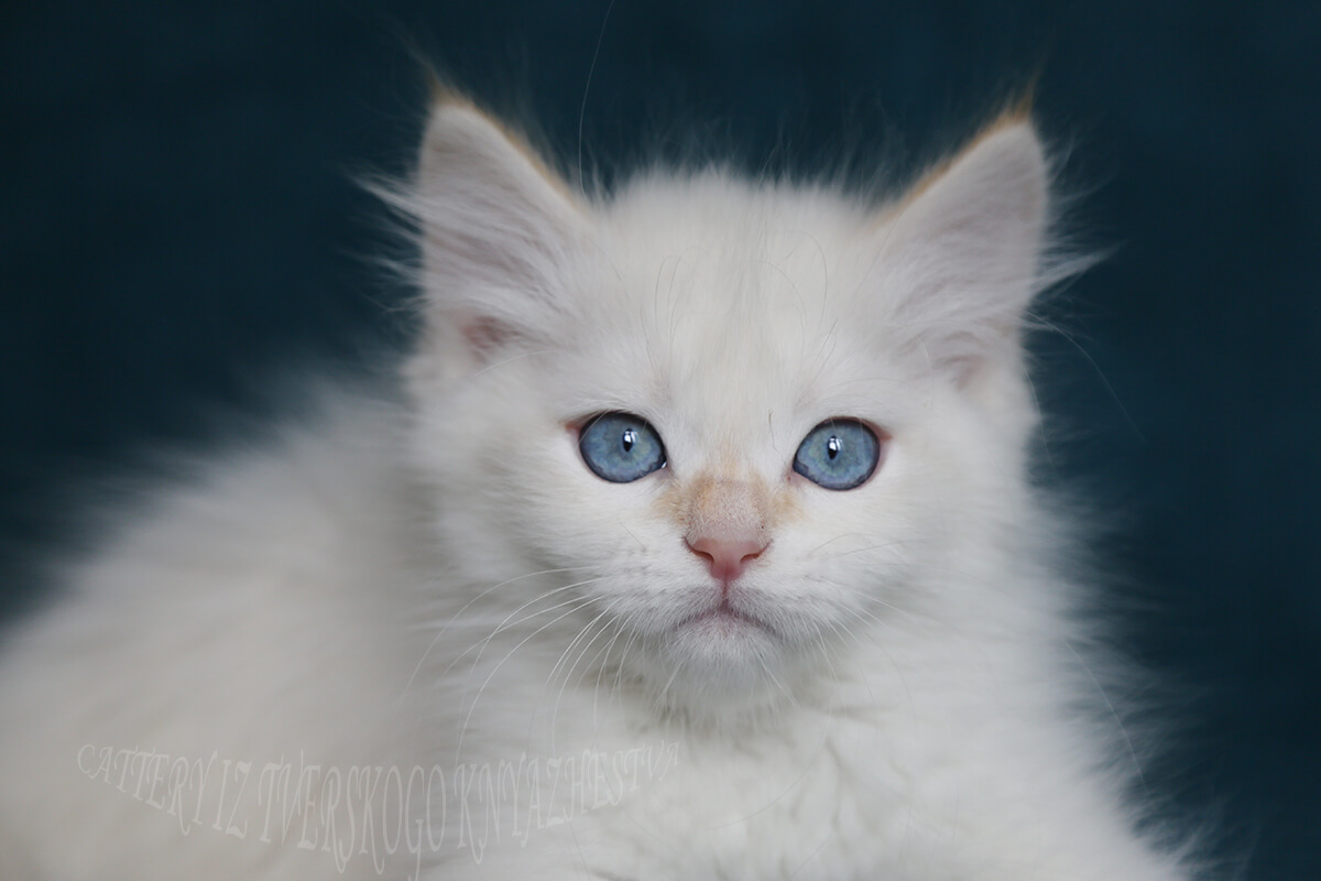 Flame point Siberian Neva masquerade kitten for sale - amazing blue-eyed boy, friendly and affectionate