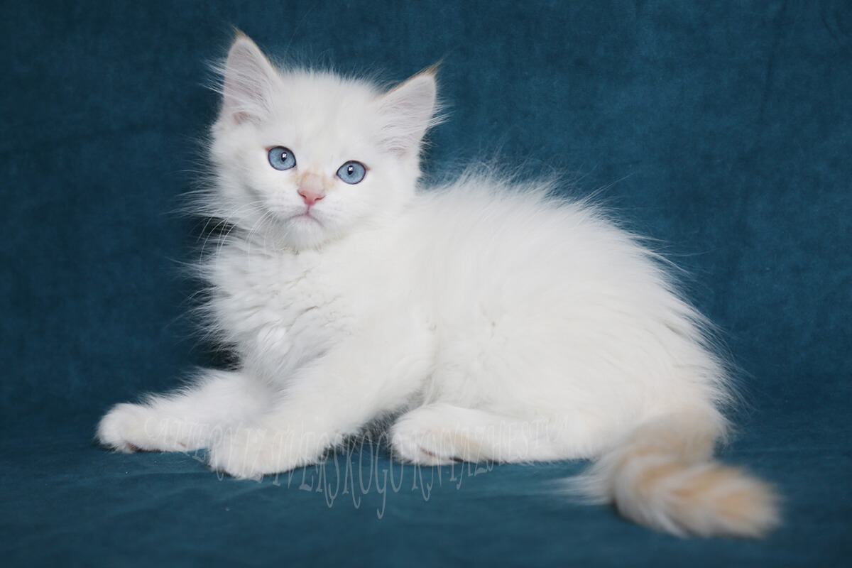 Cream silver tabby Siberian colorpoint kitten with beautiful blue eyes is available for sale