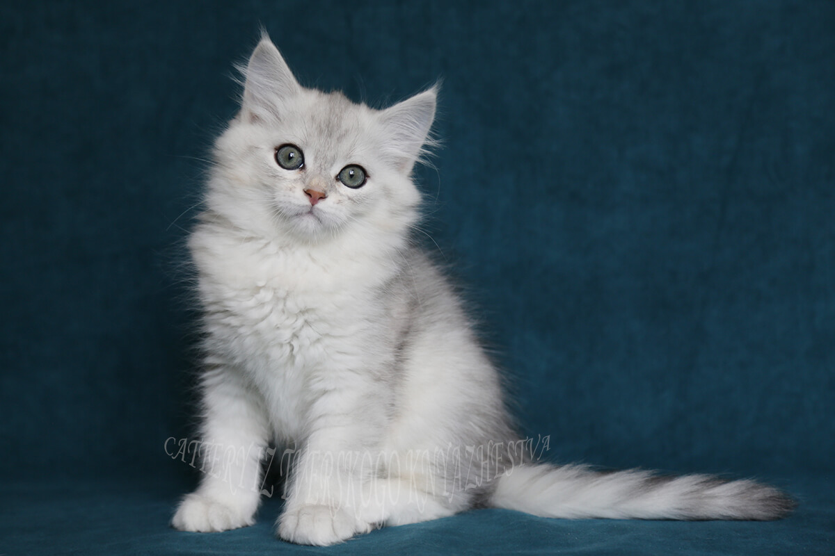 Available Siberian kitten of pretty rare black silver spotted color - cute green-eyed young Siberian gentleman with very sweet character