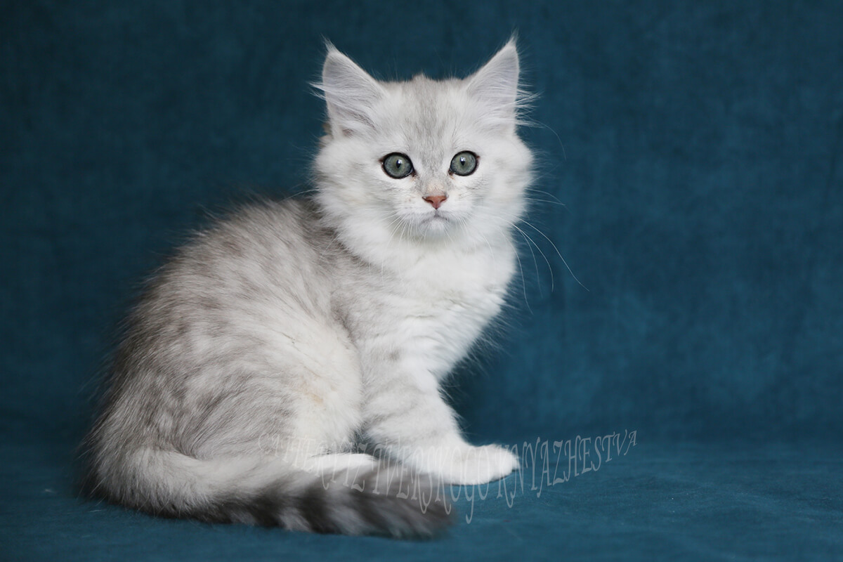 Available Siberian traditional kitten for sale - sweet charming boy with pretty rare color of coat