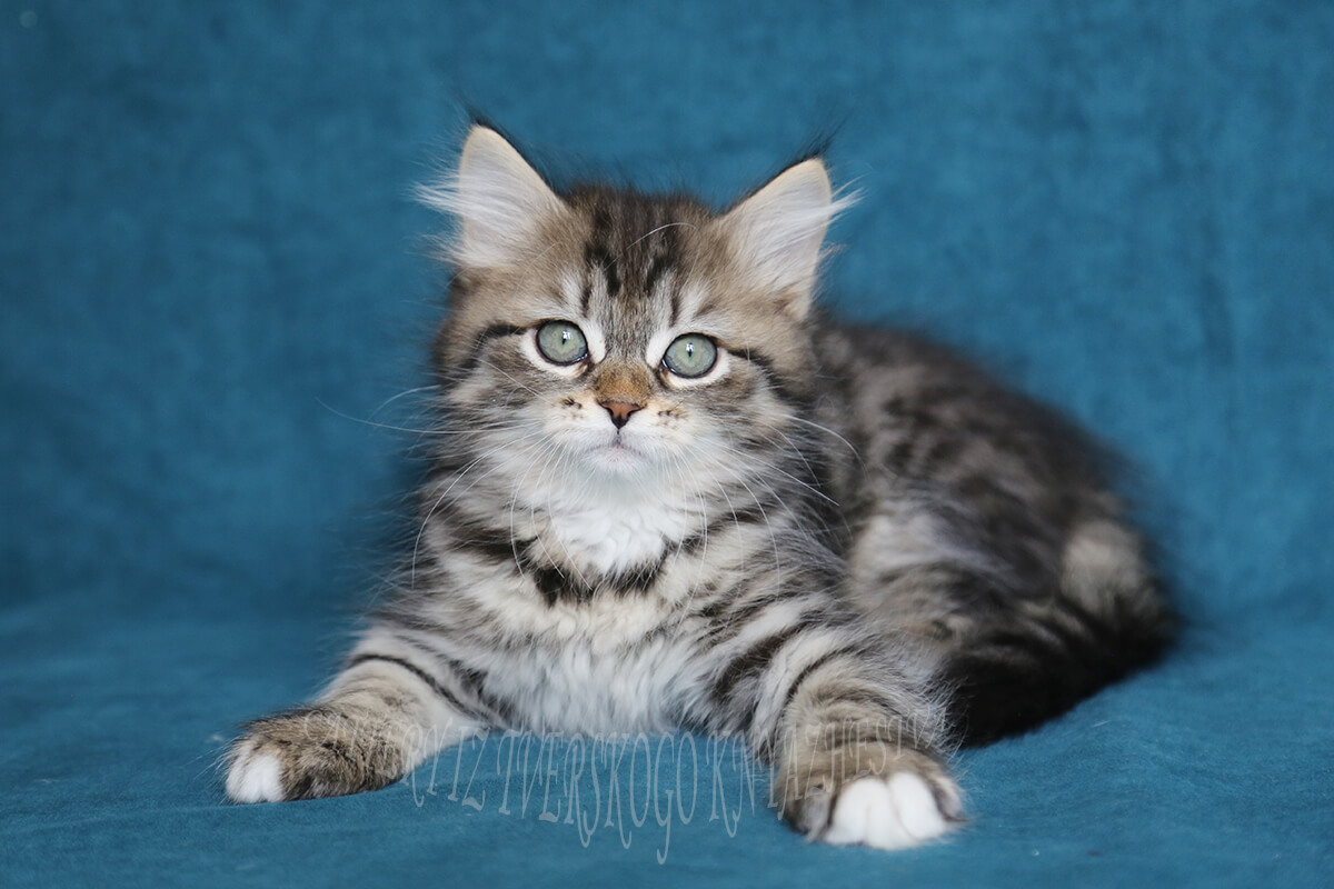 Siberian kitten for sale from cattery in Russia - cute young lady with very sweet and kind character