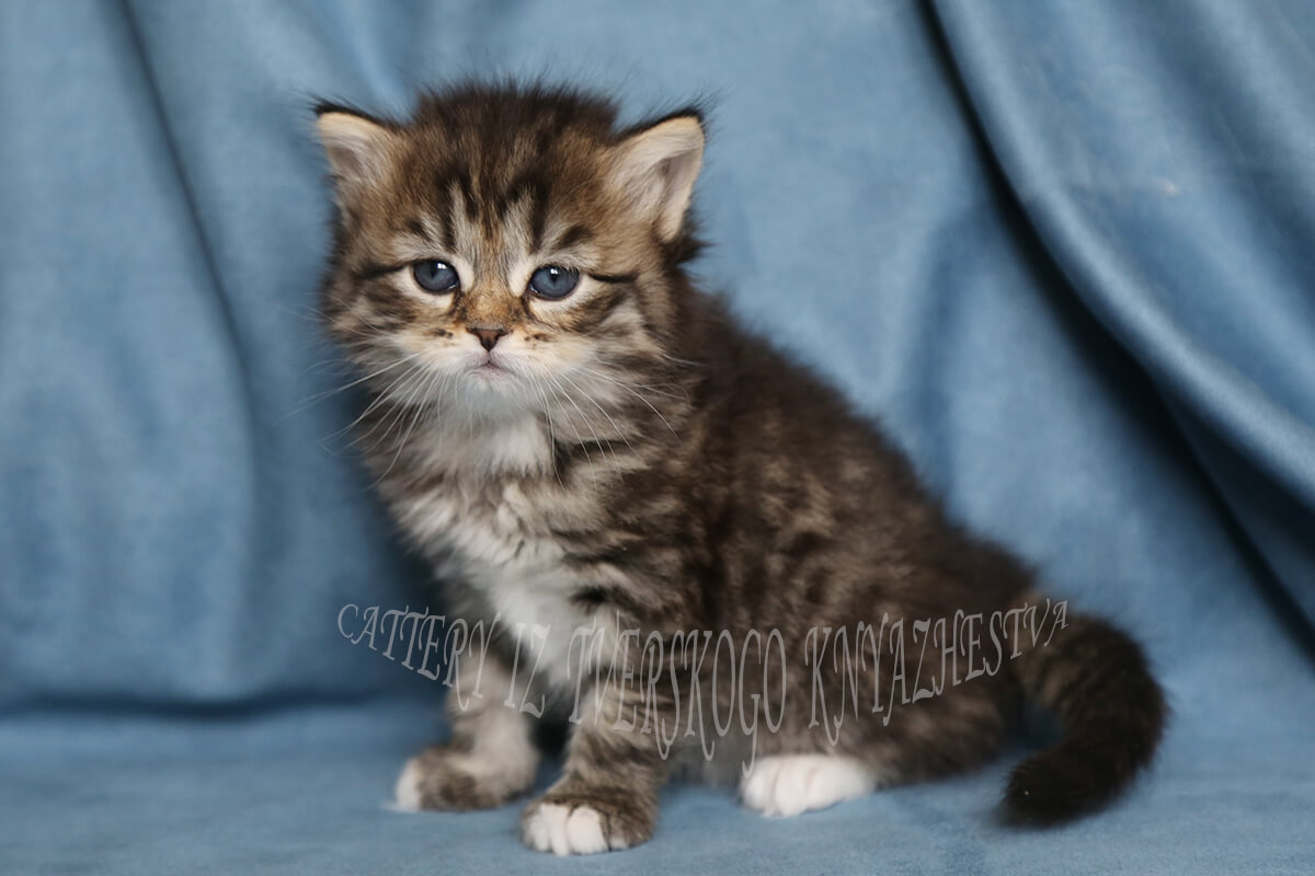 Beautiful Siberian kitten for sale - charming girl in excellent breed type and with sweet character. Her eyes will be green with age