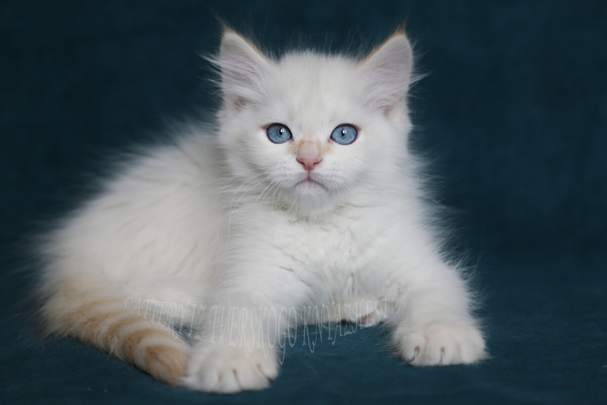 Amazing blue-eyed Neva masquerade cream silver tabby point kitten for sale
