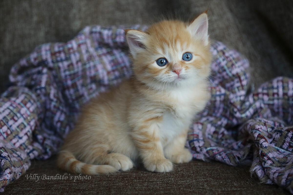Χαριτωμένο Σιβηρίας γατάκι για την πώληση. Κόκκινο στίγματα χρώμα μωρό με γλυκό ταμπεραμέντο