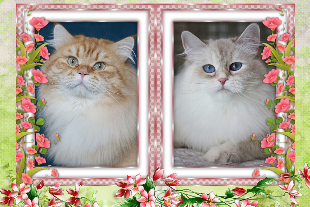 Available Siberian traditional and Neva masquerade kittens - two handsome Siberian boys, charming Neva masquerade girl and exclusive Red traditional girl