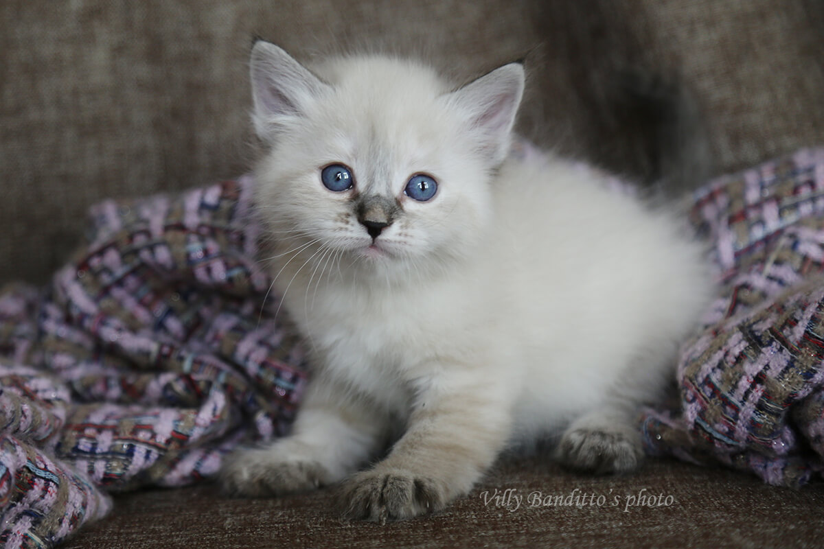 Available Siberian Neva masquerade kitten - charming blue-eyed young lady of seal tabby tortie point color