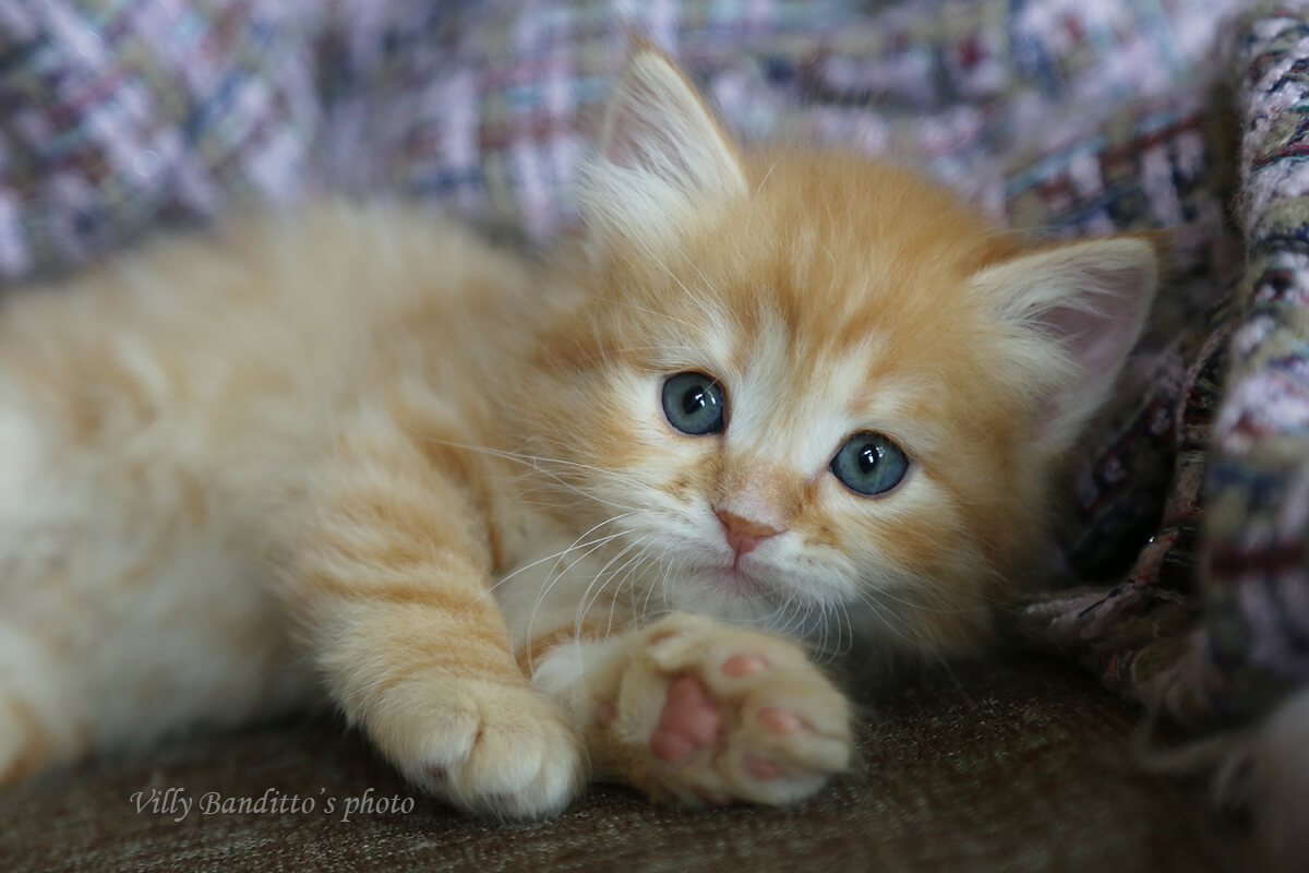 Beautiful red Siberian kitten for sale - charming green-eyed boy with incredibly sweet character
