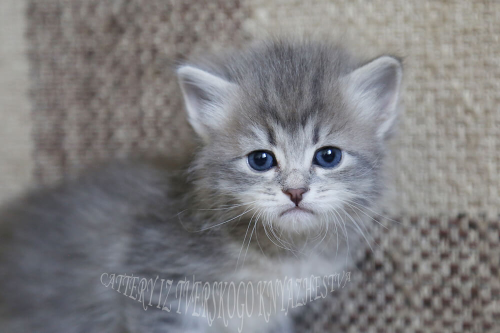 Available Siberian kitten of blue color with green eyes - friendly and playful young gentleman