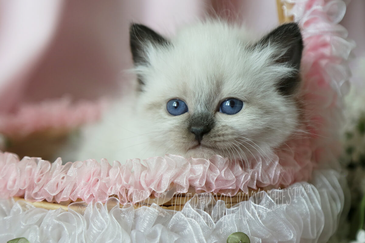 Beautiful Siberian Neva masquerade kitten for breeding and show - cute blue-eyed girl of solid blue point color