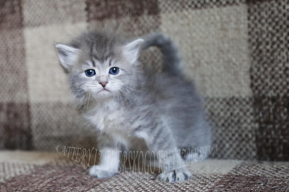 Siberian kitten for sale from cattery in Russia - charming friendly and affectionate blue spotted traditional Siberian boy