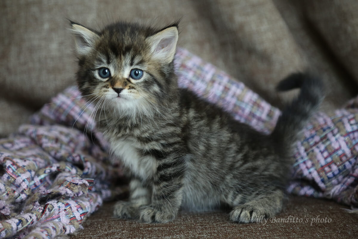 Buy Siberian kitten of classic wild color - charming black spotted young Siberian gentleman