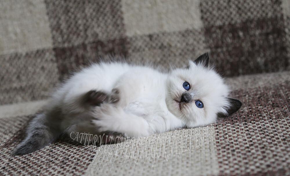 Buy Siberian Neva masquerade kitten in a cattery