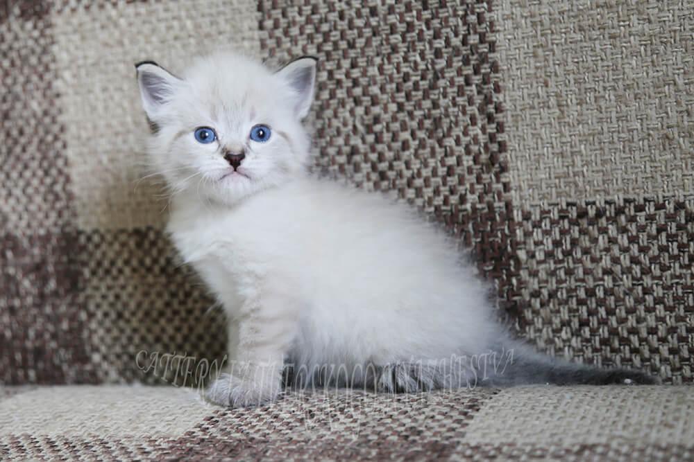 Available Neva kitten - cute Siberian guy with blue eyes