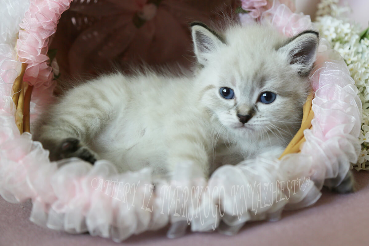 Available seal tabby point Neva masquerade kitten - charming blue-eyed Siberian Prince with very sweet character