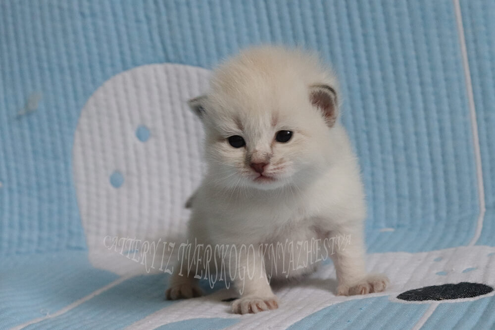 Neva masquerade kitten for sale from cattery of Siberian cats in Russia