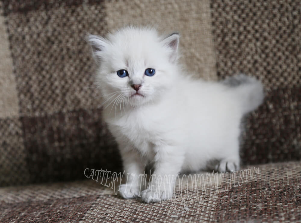 Available Siberian Neva masquerade kitten - sweet boy with excellent manners and kind character