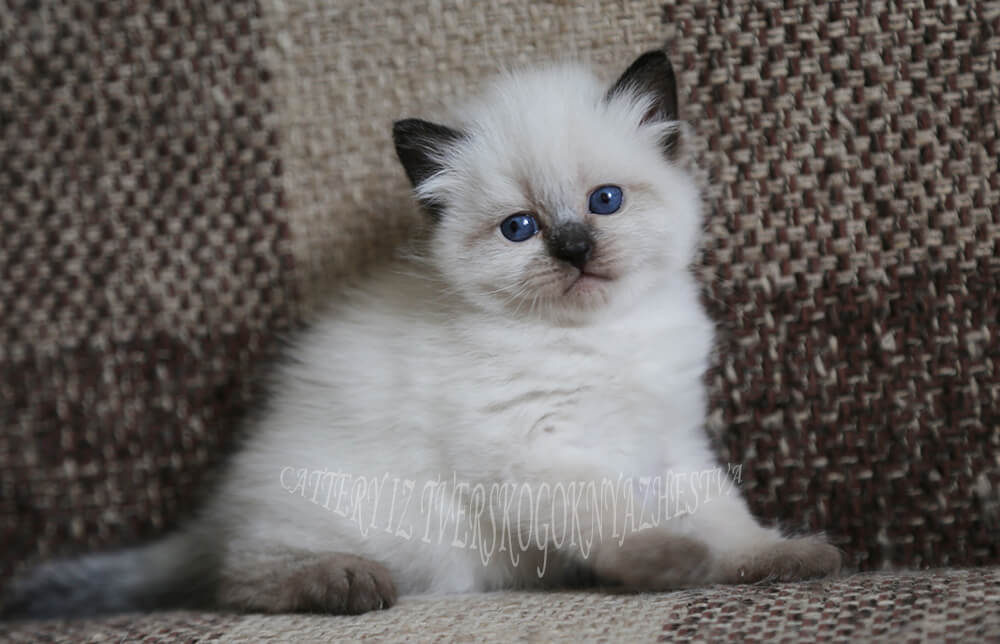 Neva masquerade kitten for breeding - charming young blue-eyed Siberian lady with excellent breed data