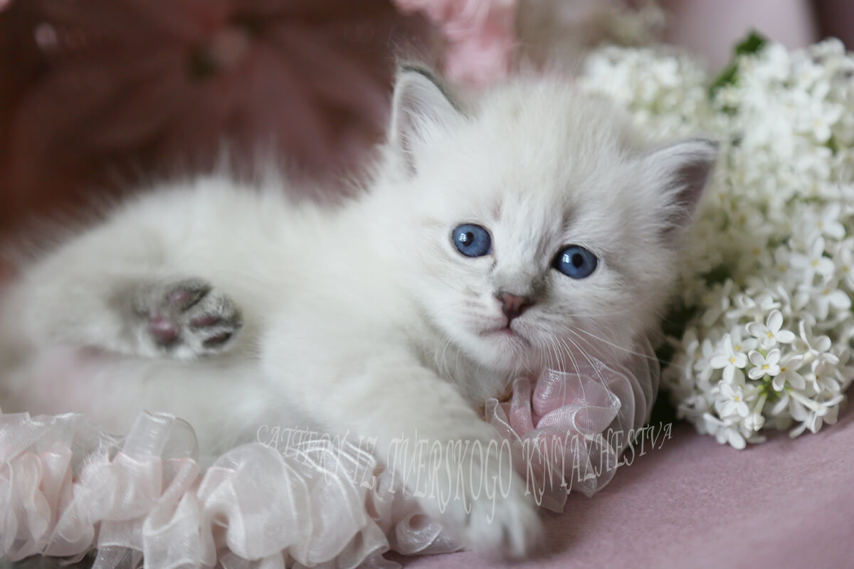 Siberian colorpoint for sale - charming blue-eyed Neva masquerade kitten, the boy of blue tabby point color, with excellent contast of points, excellent texture of coat, bright blue eyes