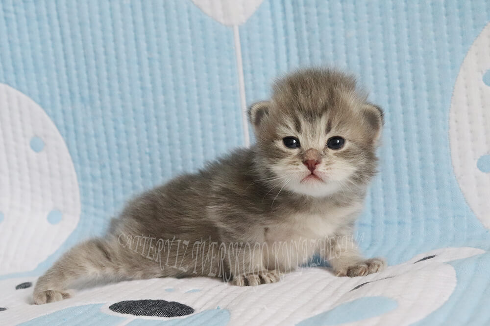 Available Siberian kitten - incredibly sweet boy of blue spotted traditional color