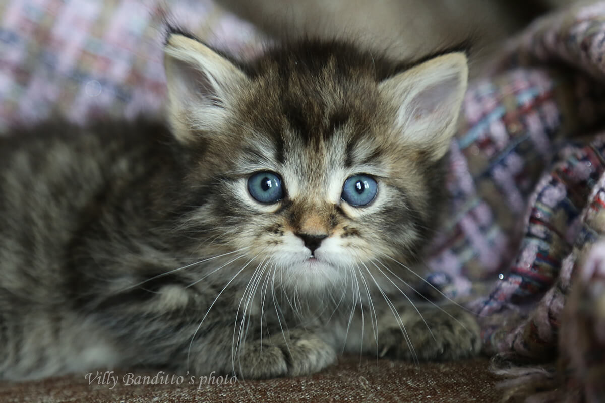 Siberian kitten for sale - charming boy of black spotted color. Sweet and affectionate lovely guy