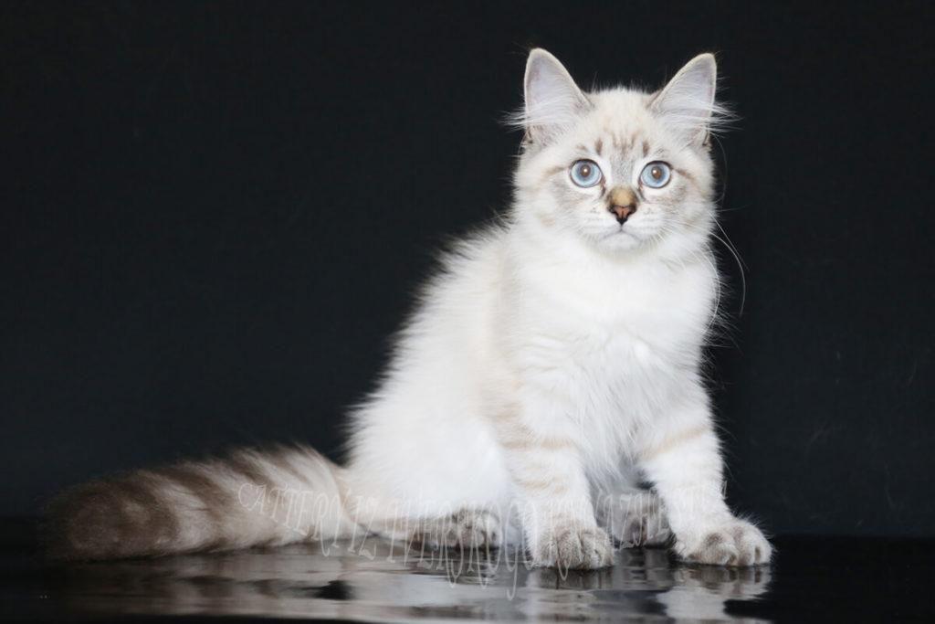 siberian kittens for you