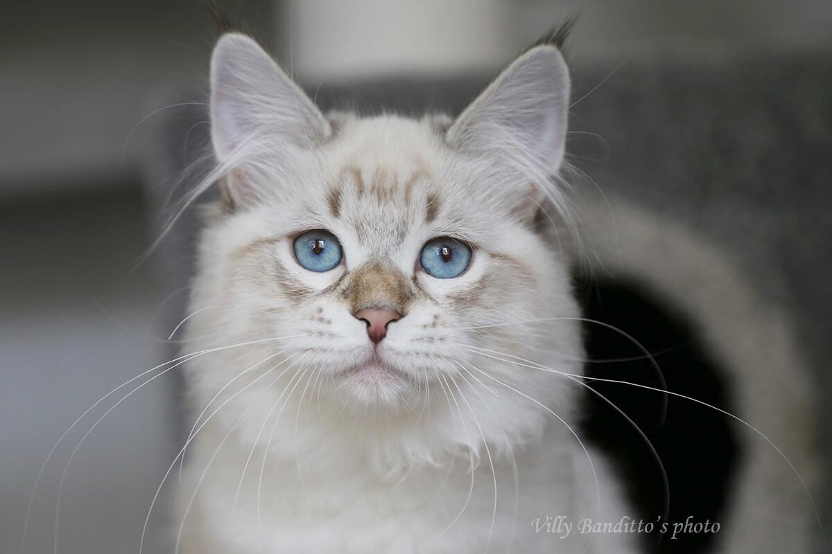 Neva masquerade kitten for sale