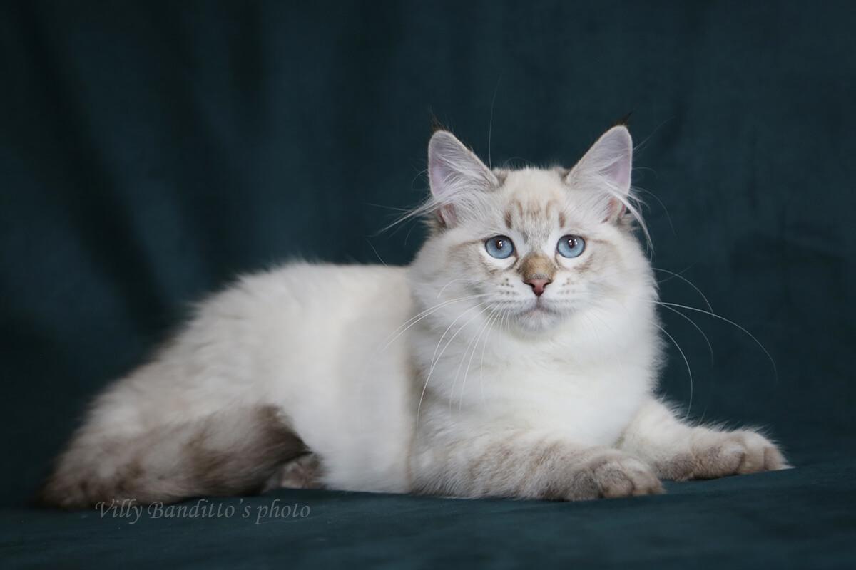 Available Siberian Neva masquerade kitten