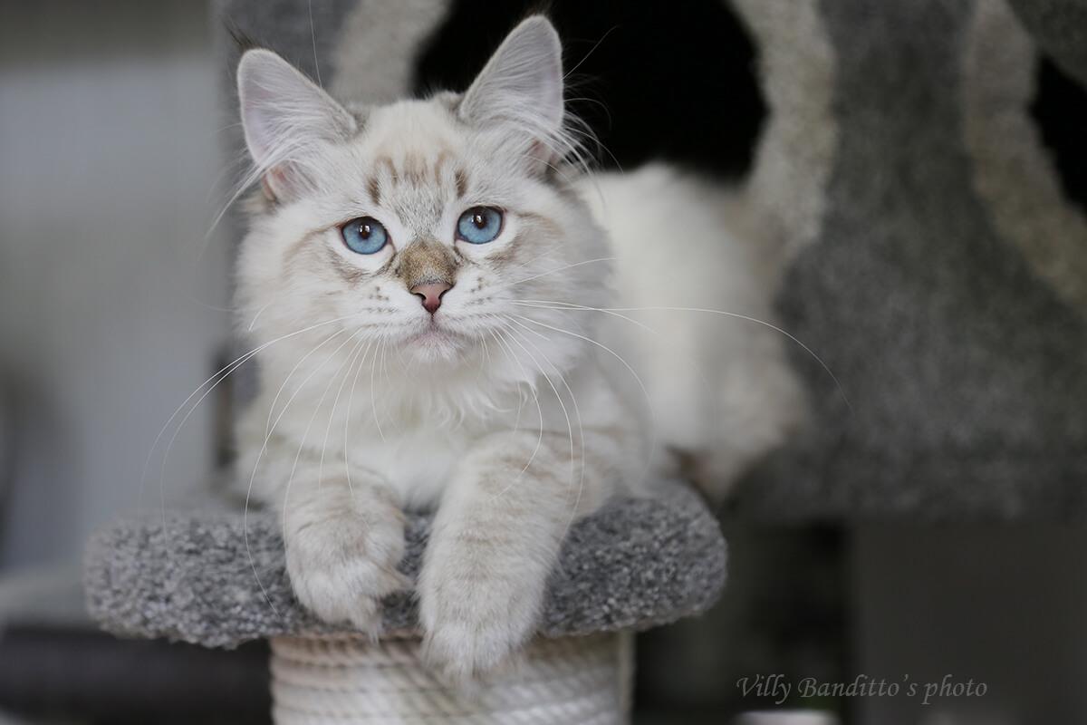 Available Neva masquerade kitten for breeding and show