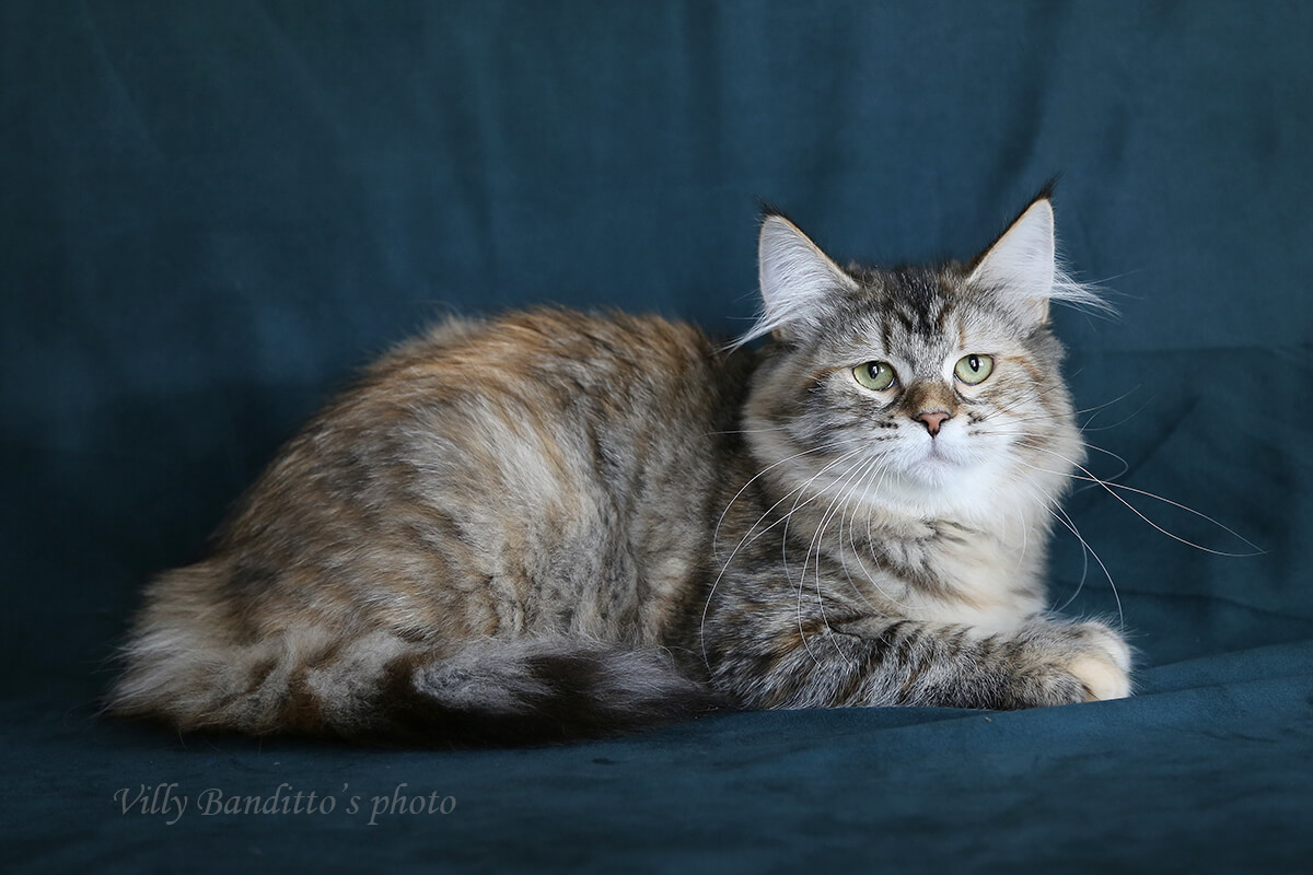 Available traditional tortie Siberian kitten for breeding and show