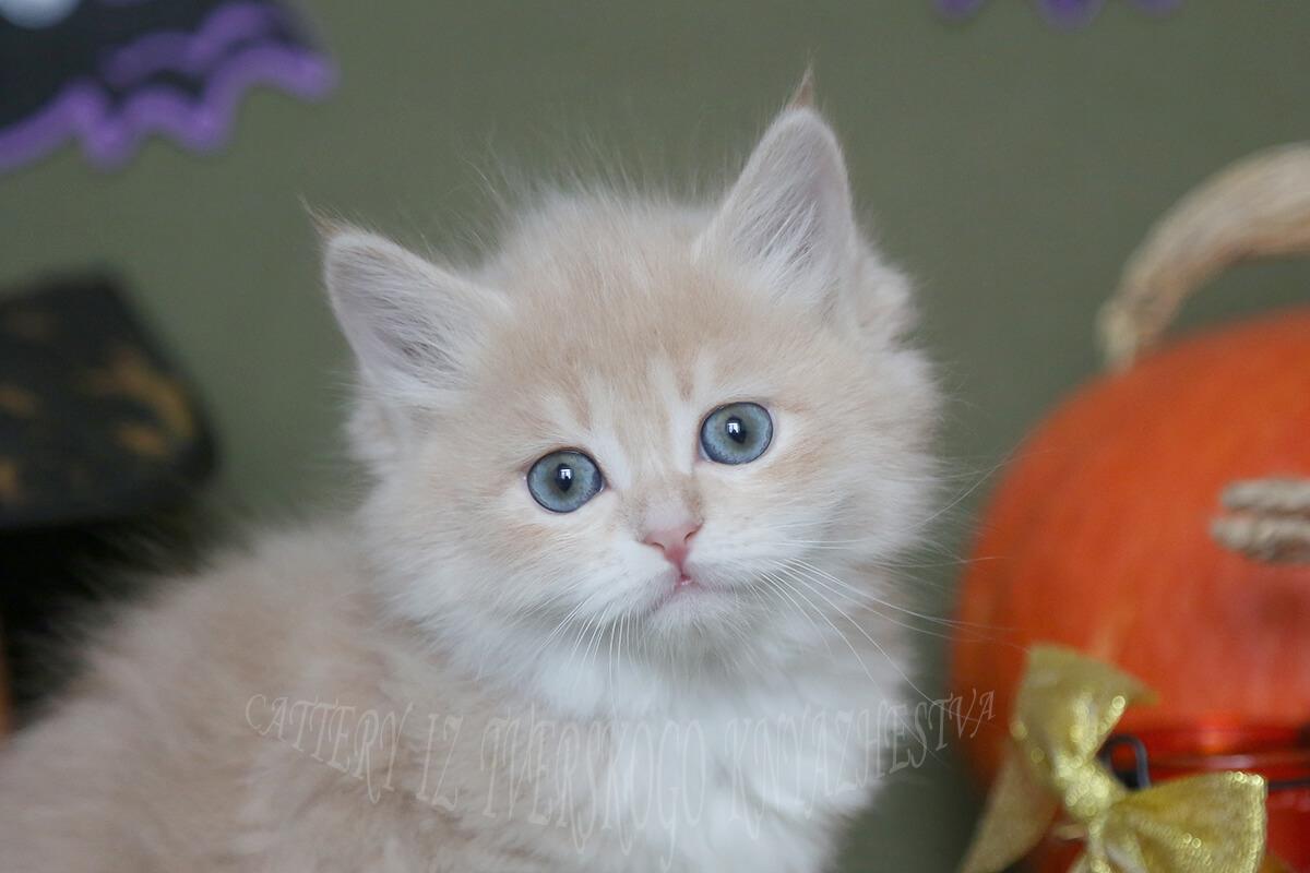 Siberian traditional cream tabby kitten for sale