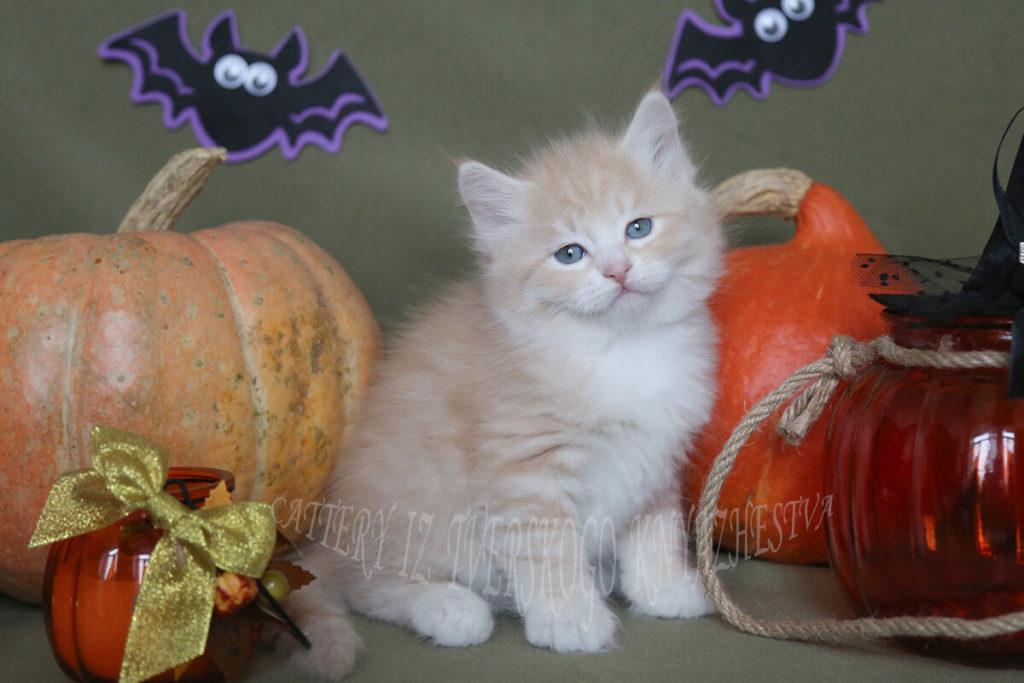 Siberian kitten for sale