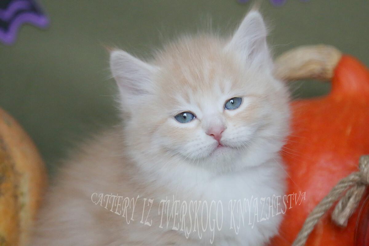 Available Siberian kitten
