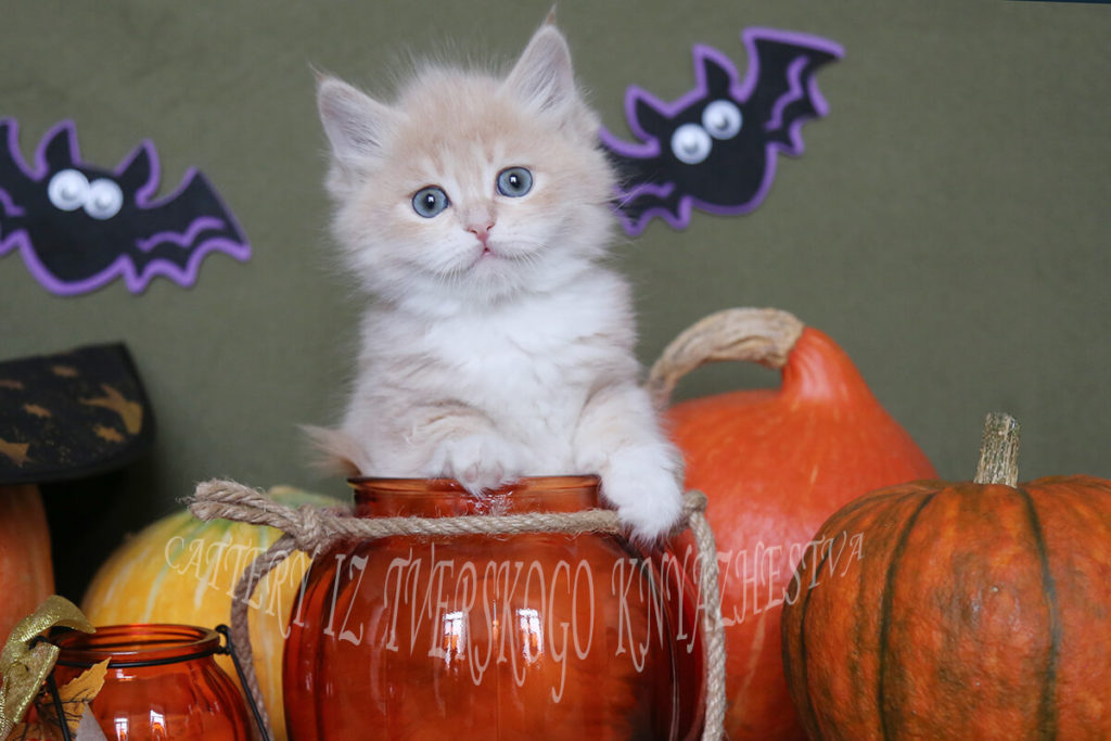 Available Siberian traditional kitten of cream tabby color