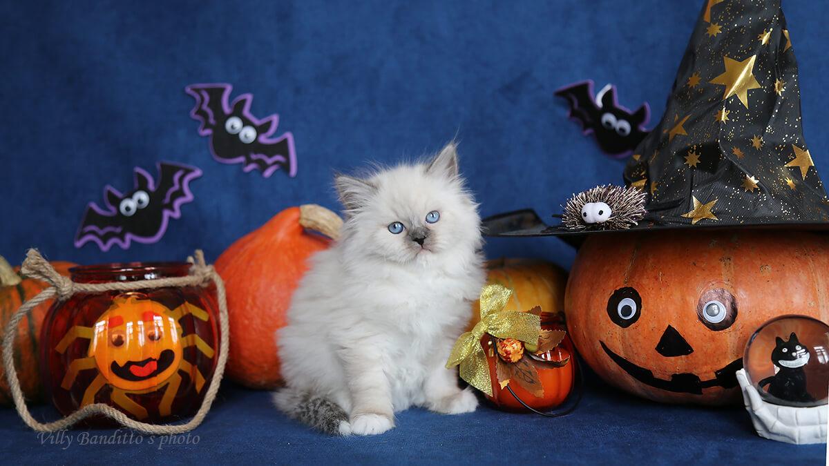 Siberian Neva masquerade blue point kitten for sale