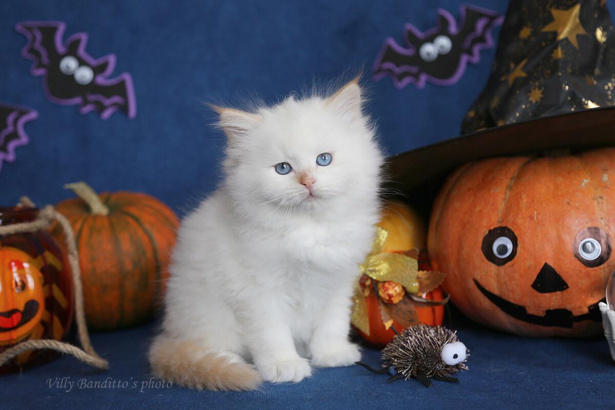 Neva masquerade Siberian kitten for sale from Russia