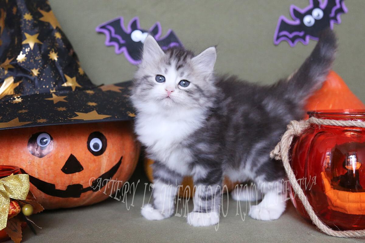 Black silver bicolor Siberian kitten for sale