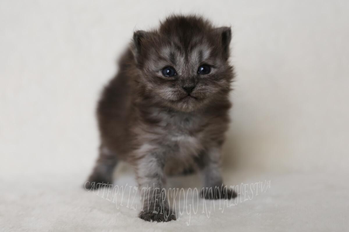 black smoke kitten
