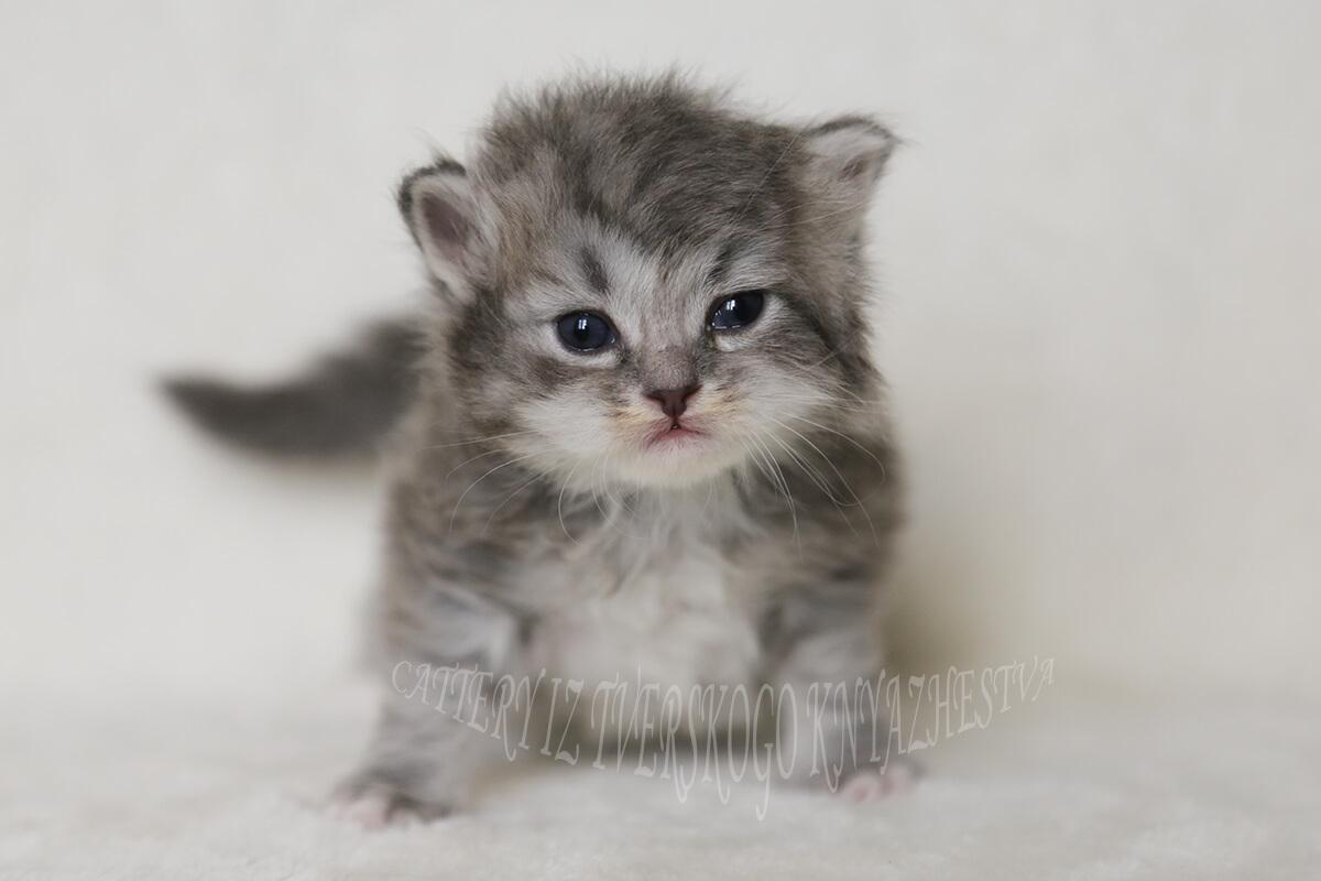 siberian silver kitten