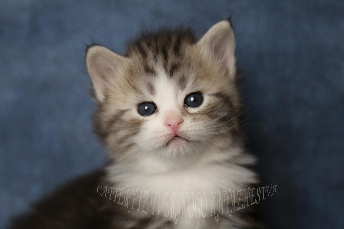 Black tabby with white Siberian kitten for sale