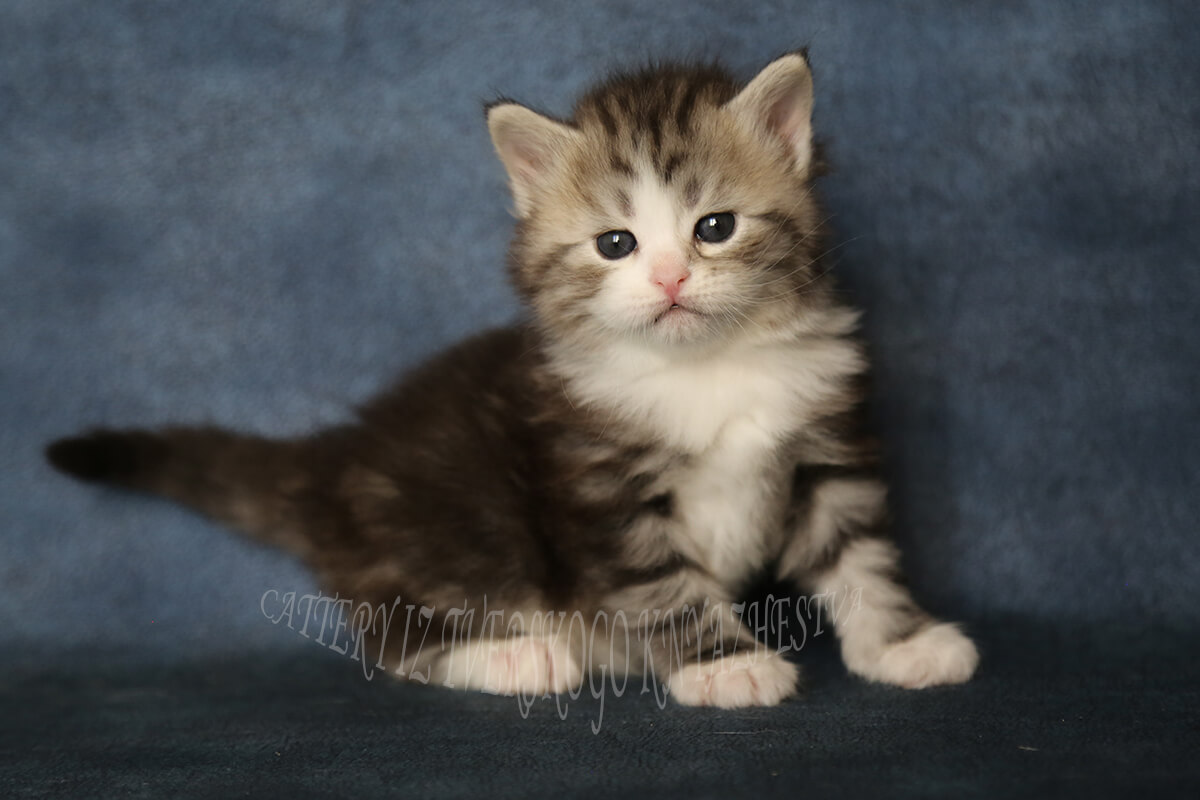 Siberian kitten for sale - charming boy with beautiful black tabby with white color