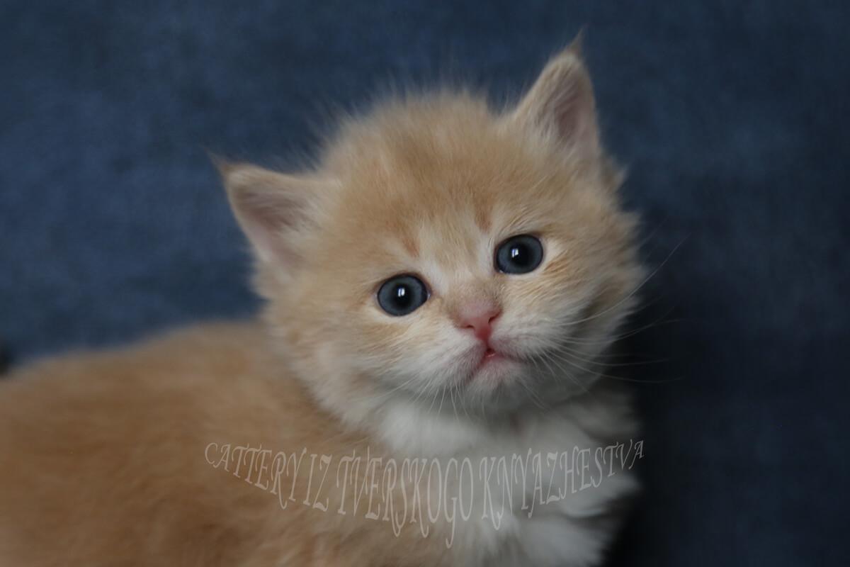 available siberian kittens